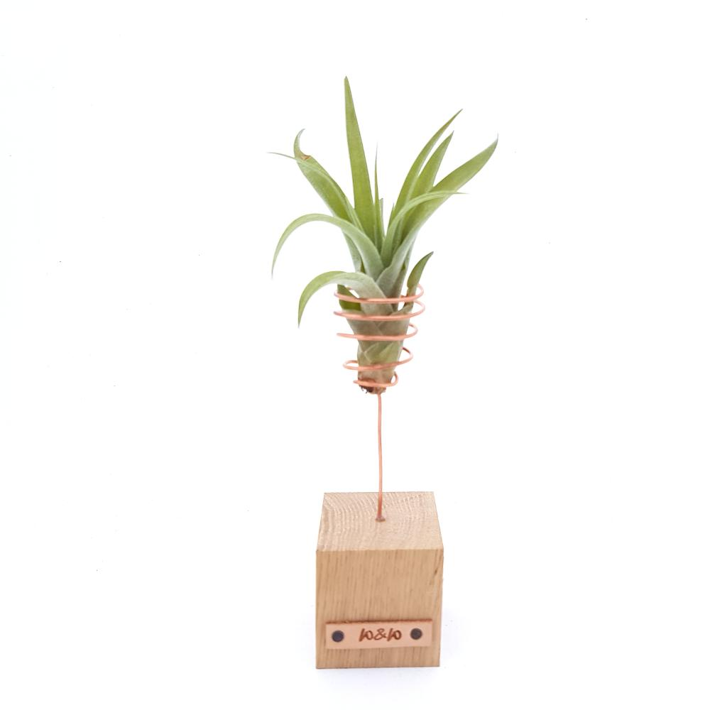 luchtplantje airplants hout standaard