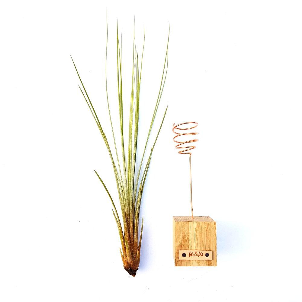 luchtplantje tillandsia juncea standaard hout