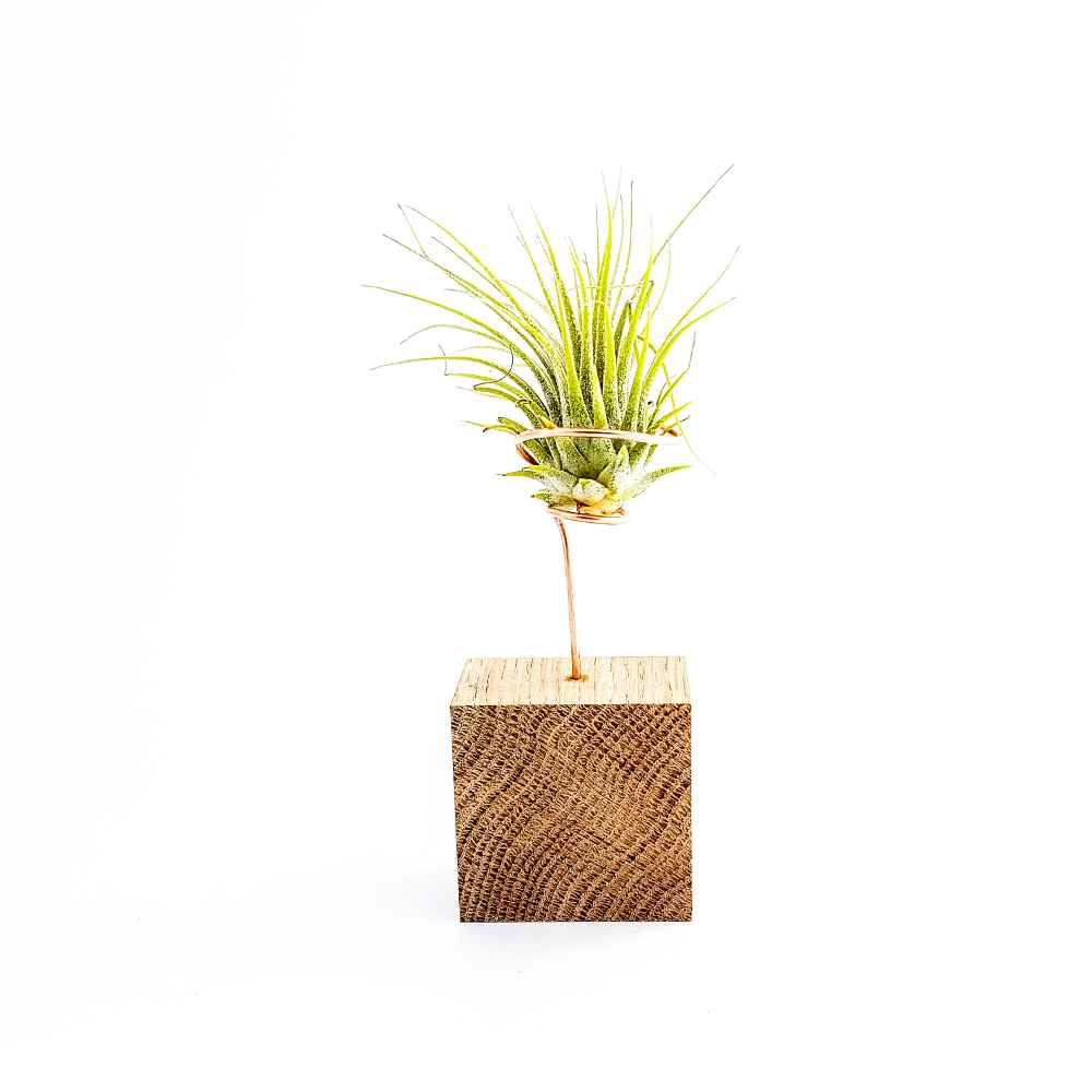 airplant tillandsia ionantha groen hout