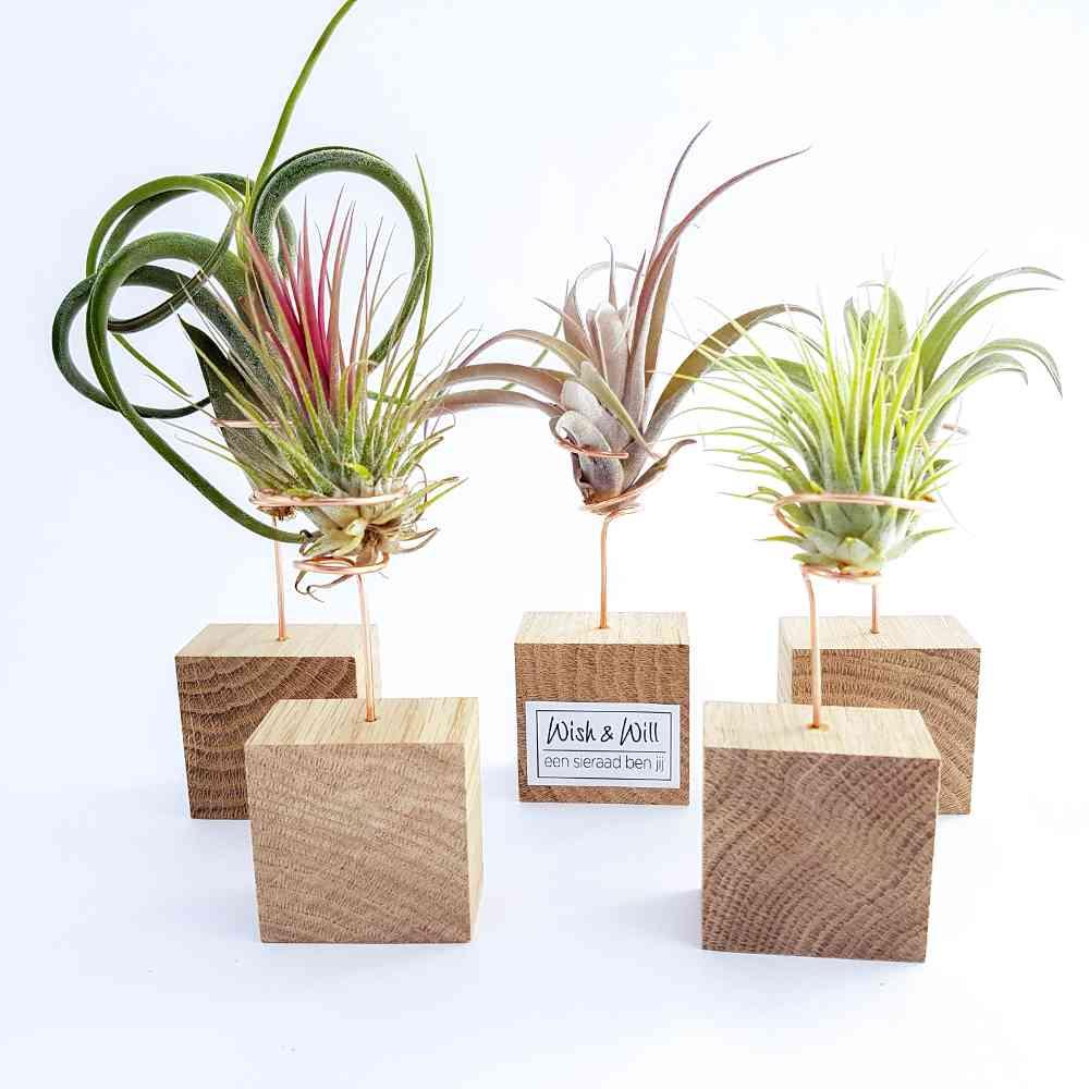 airplantjes tillandsia multiflora hout standaard