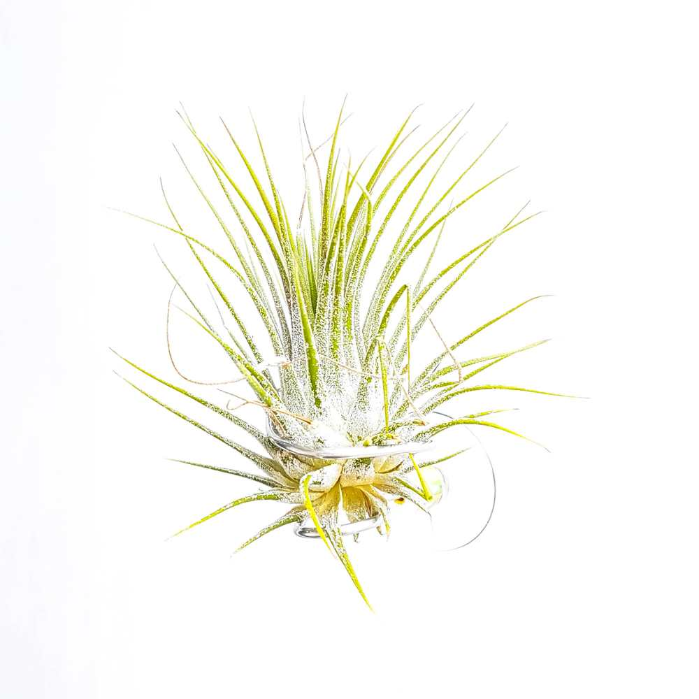 airplantje tillandsia ionantha groen zuignap