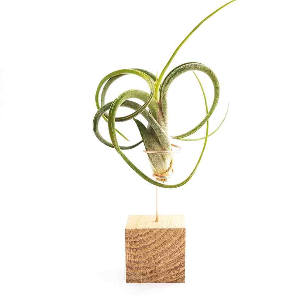 airplantjes blokje tillandsia medusa