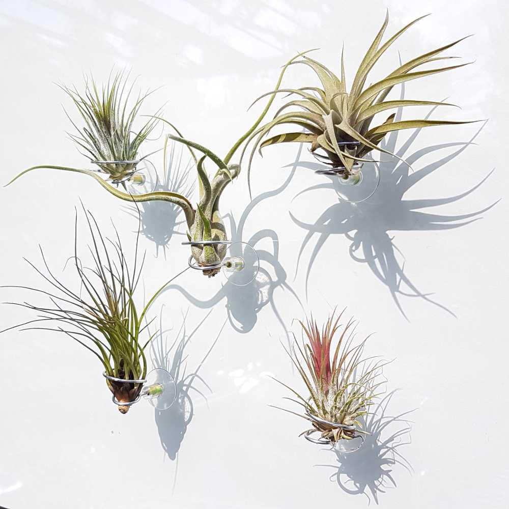 accessoire airplantje tillandsia multiflora