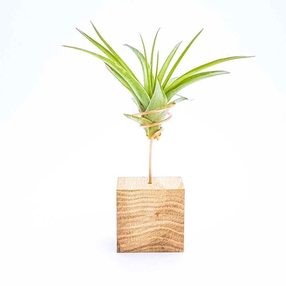 airplantje tillandsia multiflora standaard hout