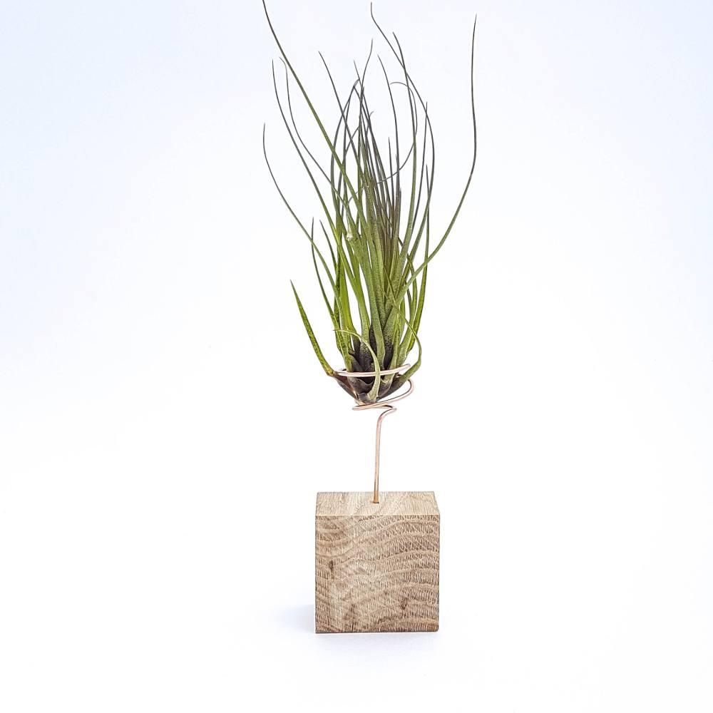 decoratie plant tillandsia melanocrater