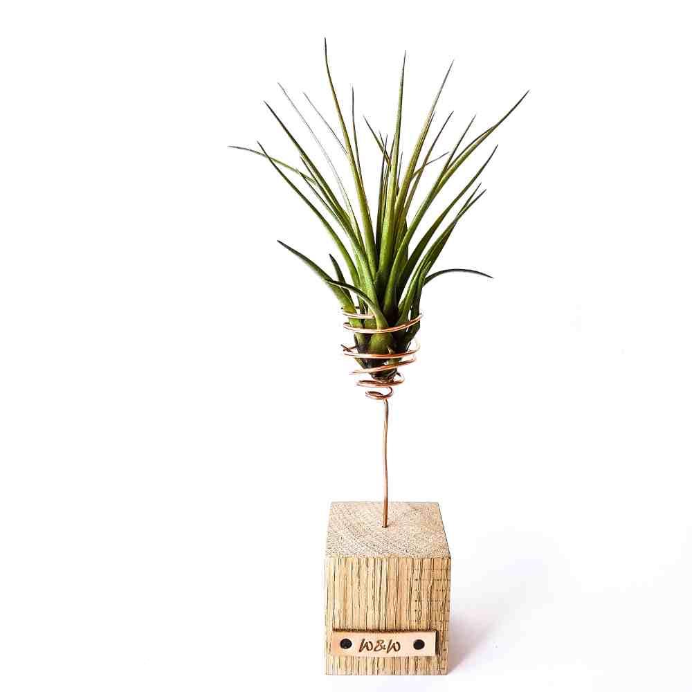luchtplant standaard hout tillandsia melanocrater