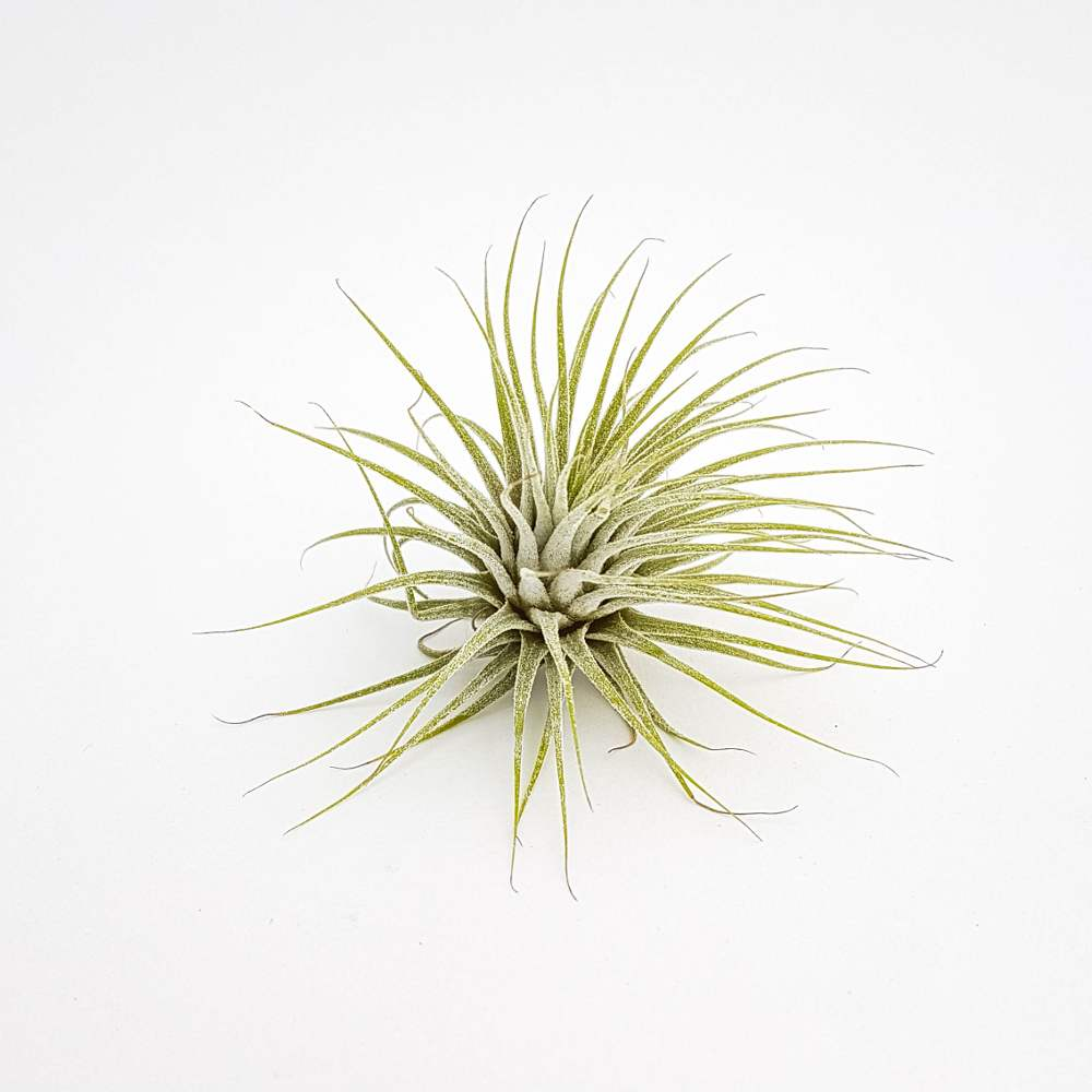 luchtplantjes tillandsia ionantha groen