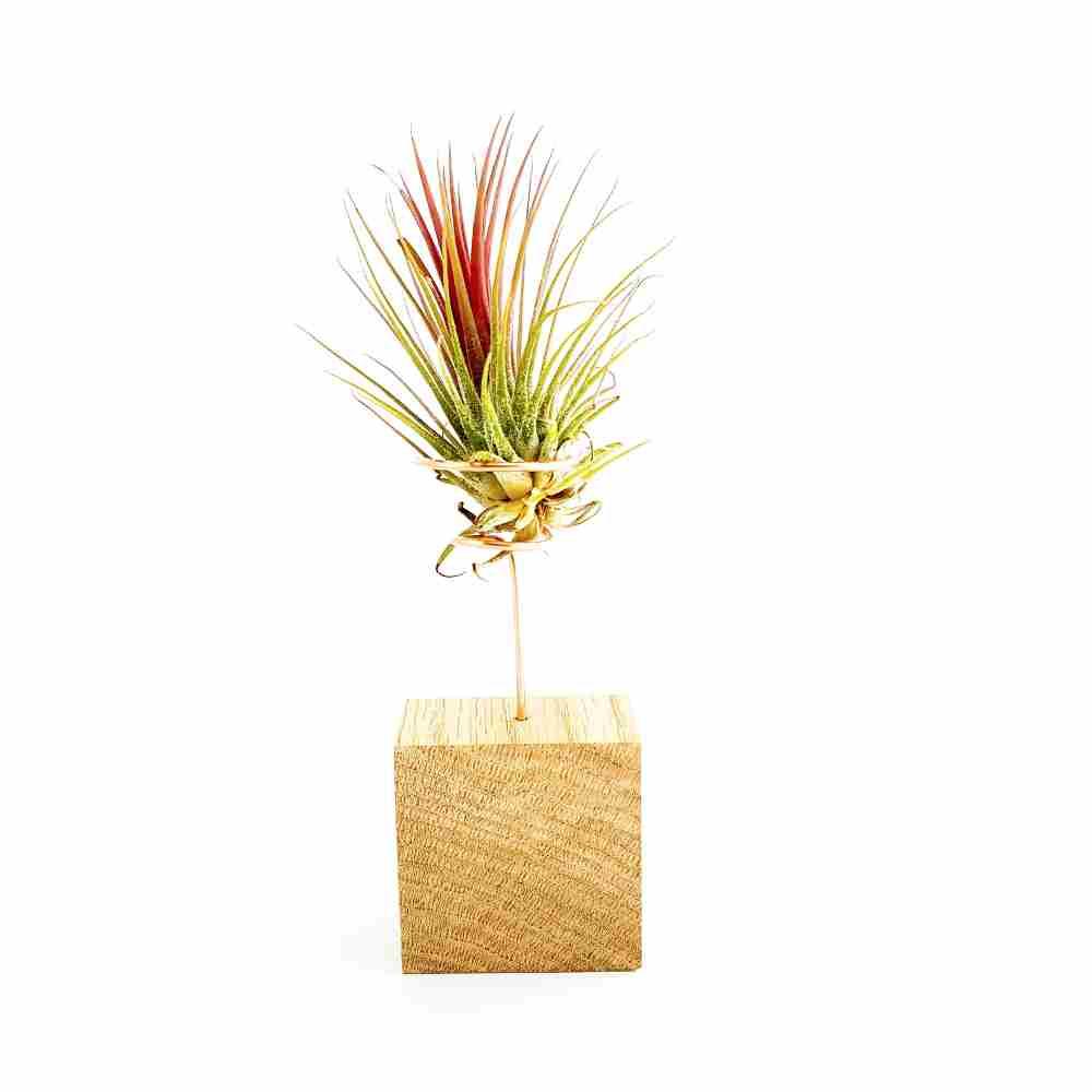 standaard hout tillandsia plantjes tillandsia ionantha rood