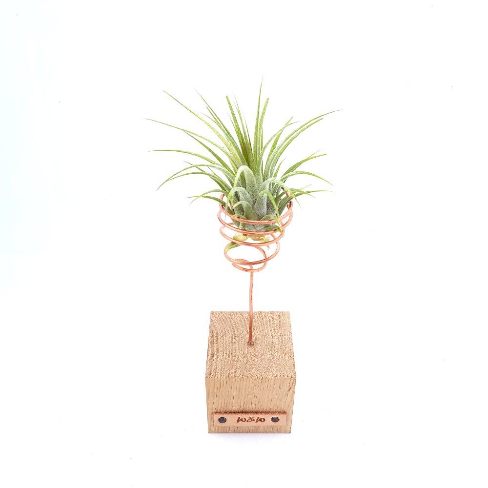 luchtplant standaard hout tillandsia