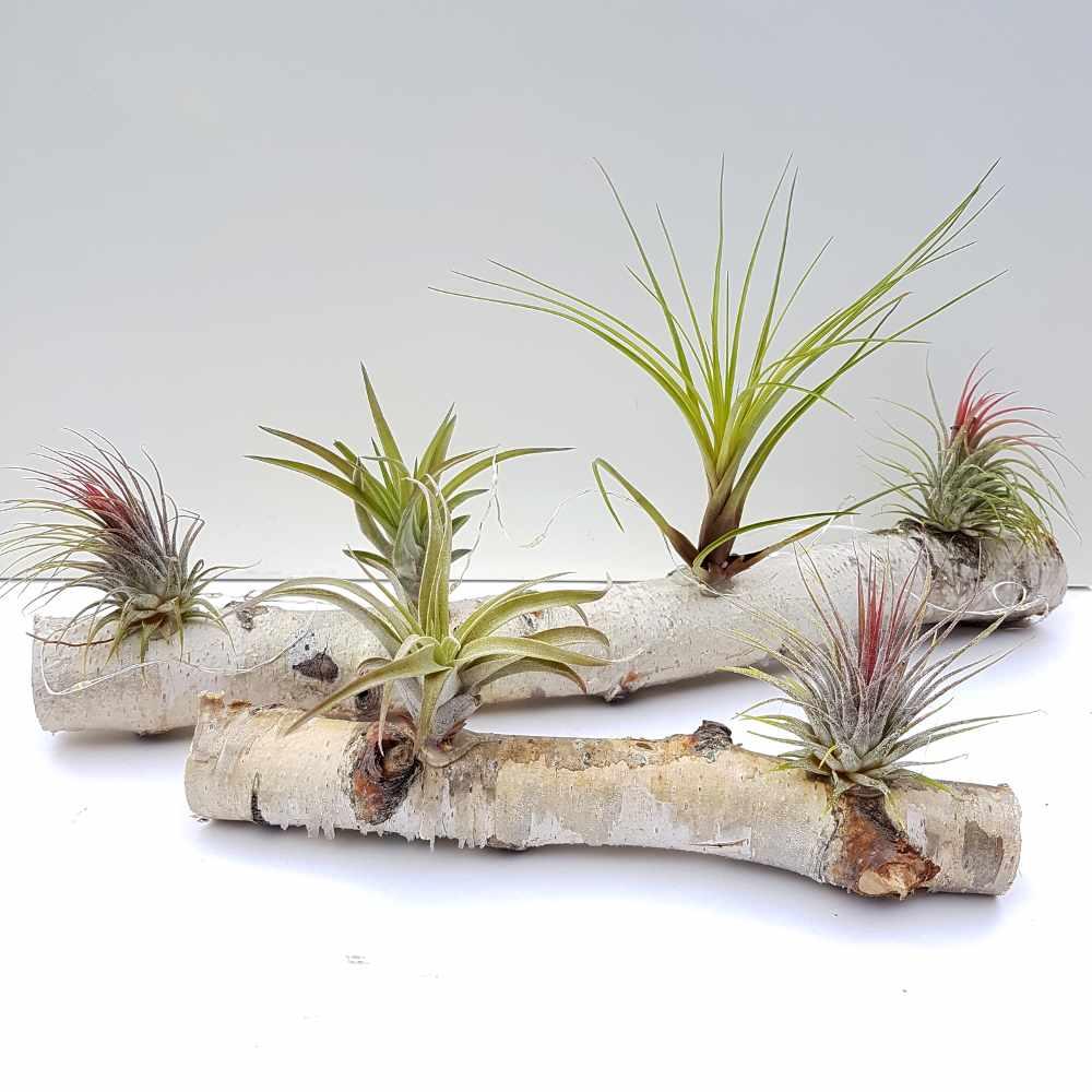 airplantjes luchtplantjes boomstam