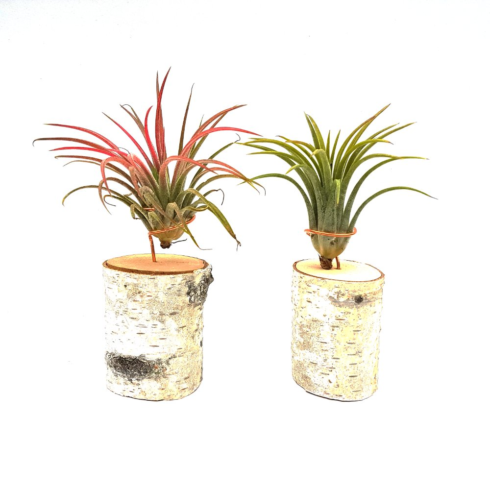 luchtplantjes airplants standaard