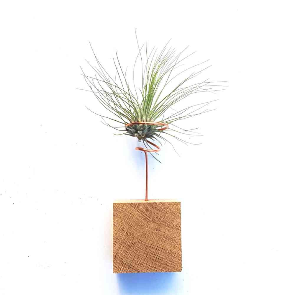luchtplantje tillandsia argenta standaard
