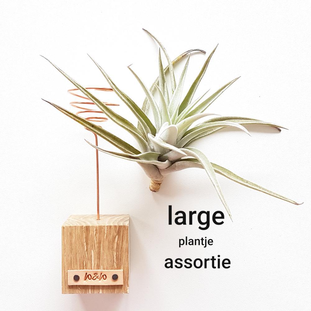 luchtplantje tillandsia standaard large