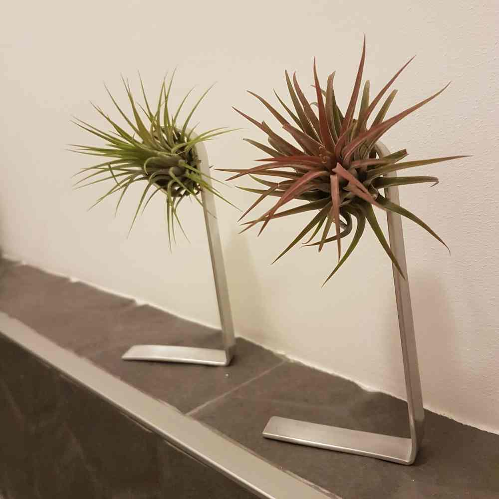 airplant luchtplant rood standaard