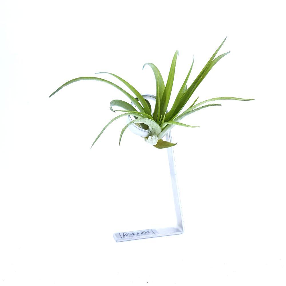 luchtplantje kamerplant cadeau airplants