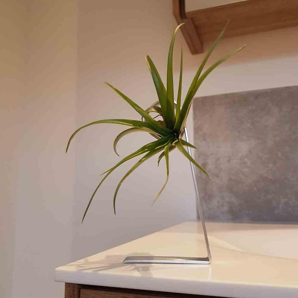 luchtplant multiflora standaard zilver