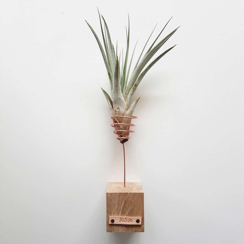 luchtplant groot fasciculata standaard