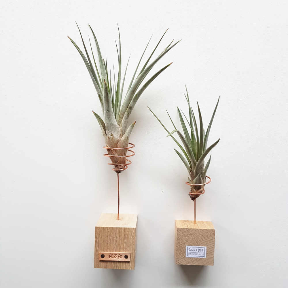 luchtplantjes tillandsia fasciculata standaard