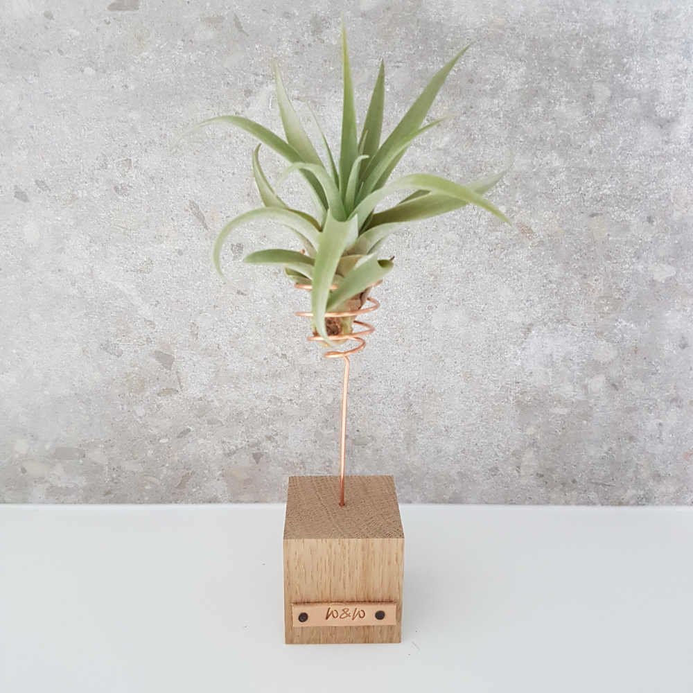 luchtplant capitata standaard hout