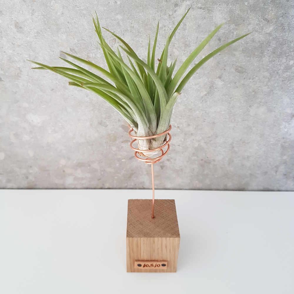 luchtplant tillandsia abdita hout