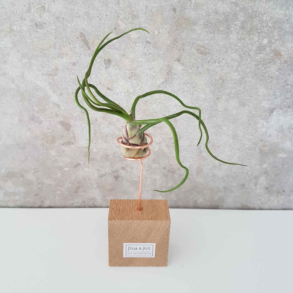 luchtplantje tillandsia bulbosa standaard