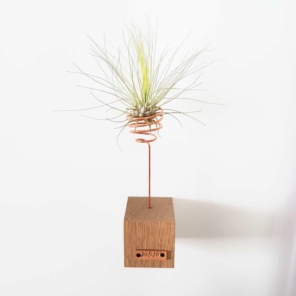 luchtplant argentea standaard hout