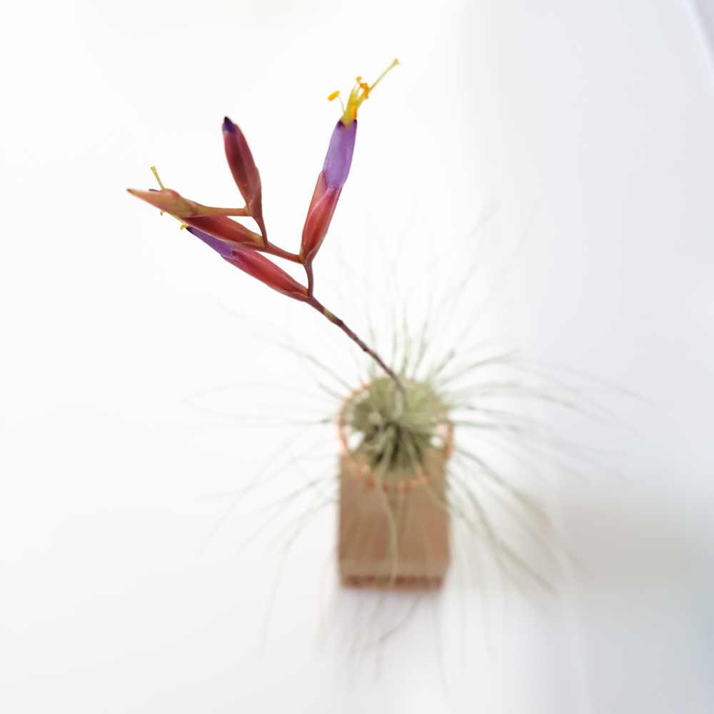 tillandsia argentea bloem